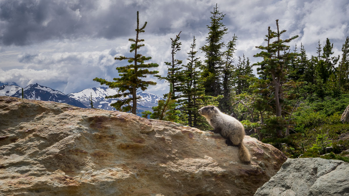 A marmot rests on rocks on Whistler Mountain, British Columbia, Canada