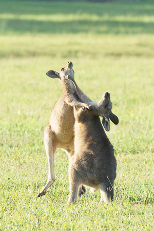 Baby kangaroo joeys playing in the wild in Australia